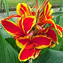(2) Lucifer Canna Lily Root, Beautiful Red & Yellow Flowering Canna Lily Bulb, Plant, Flower, Seeds,Bulbs,Plants,&More
