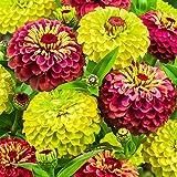 SummerRio Garten-50 Pcs Selten Dahlien Bio riesen faszinierende außergewöhnliche exotische Blumensamen riesige Blütengröße mehrjährig Sommer Blumen Samen pflegeleicht,ideal für Ihr Garten