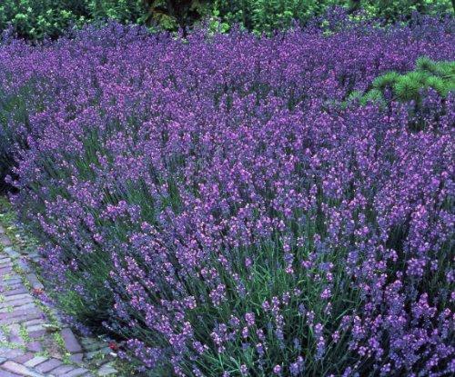 Lavendel Stauden Gartenpflanzen...