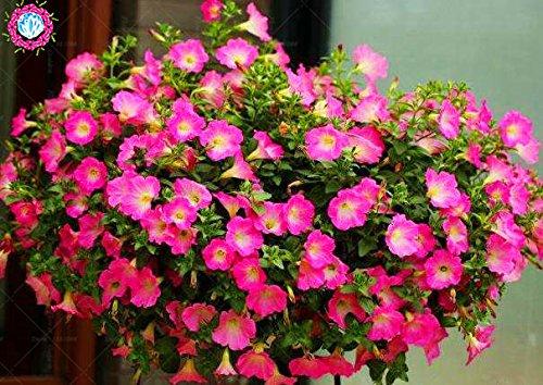100 pcs/sac à double pétales graines de pétunia graines de fleurs bonsaï fleurs court jardin hauteur des graines de pot de plante d'intérieur ou ourdoor 10