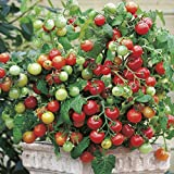 ALEXI Tomato Seeds - Tiny Tim Tomato Seeds - Dwarf Cherry Tomato Seeds...