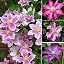 Clematis Multi Pink Climbing Plant in a 16cm Pot Approx 75cm Tall