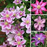 1 x Clematis Pink Coloured Large Flowering Climber Hardy