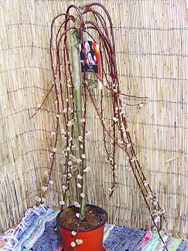 Large Traditional Evergreen Garden Plant - Kilmarnock Willow Tree