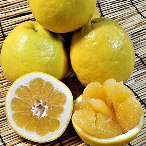 愛媛 愛南町産 ( 愛南ゴールド 河内晩柑 ) 贈答用5kg 爽やかジューシーな夏の柑橘 ブランドの品質 宇和海の幸問屋