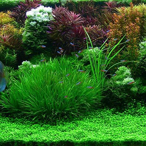 Tomasa Gartensamen- Bio Wasser Grassamen mehrjährig Aquarium Pflanzensamen Dekor Wasser Grassamen,schnell wachsen Ziergras