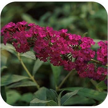 Adonis Blue Buddleia Butterfly Bush Plant in 9cm Pot Compact Buddleja d