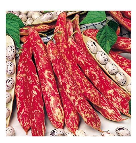 Premier Seeds Direct winzige italienische Borlotto  Lingua Di Fuoco Bohne beinhaltet 100 Samen