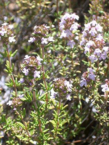 Thymus vulgaris - Gewürz-Thymian, 6 Pflanzen im 5/6 cm Topf