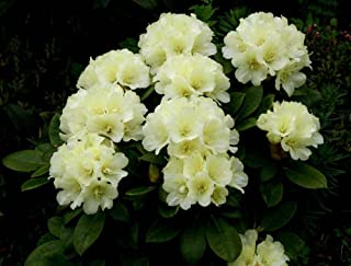 Rhododendron Lemon Dream #1 Container Size Plant