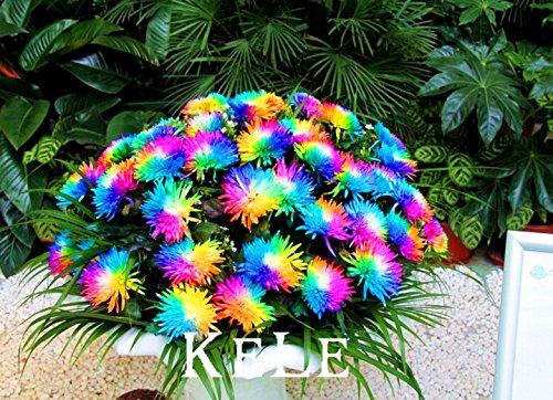 Nouvelle arrivée 2015 !! Réels Seeds 20 graines / pack Graines de Rainbow Chrysanthème Fleur, rare couleur fleur plante Pour Garden Home