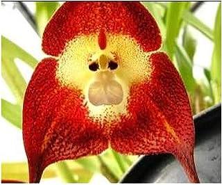 Exotic Plants Orchid Monkey Face Red - Orquídea Cara de Mono roja - 20 Semillas