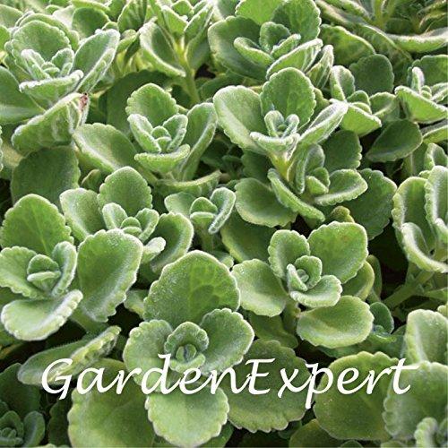 100pcs vert cubaine Origan Graines mexicaine Thym Indian bourrache Graines espagnol thym vivaces herbes Jardin des plantes Bonsai