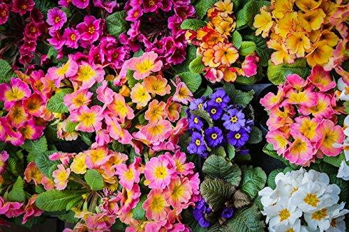 Primel, Aurikelprimel 30 Samen gemischt - Primula auricula -Eine bunte und duftende Mischung