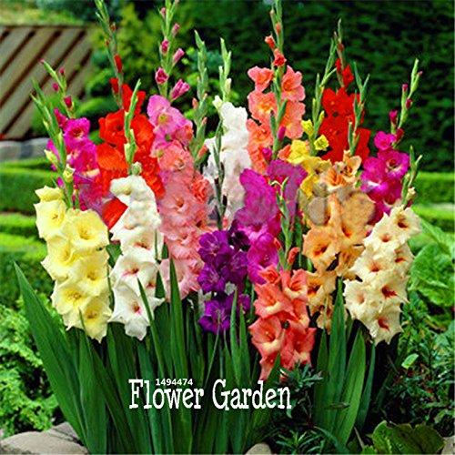 Bloom Green Co. Date limite !! Cut Gladiolus bonsaï fleurs jardin de plantes vivaces en pot Plantes d'intérieur aérobie glaïeul Fleur flores 100 PCS/lot, 93Q6E
