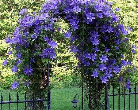 SVI fresco 20PCS Escalada semillas de flores de jazmín para plantar Azul