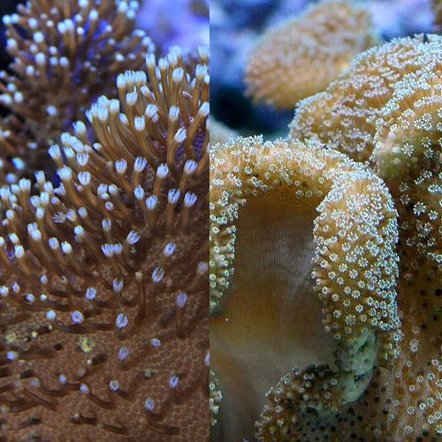 (海水魚 サンゴ)沖縄産ソフトコーラル 海のキノコのセット Sサイズ(1セット) 本州・四国限定[生体]