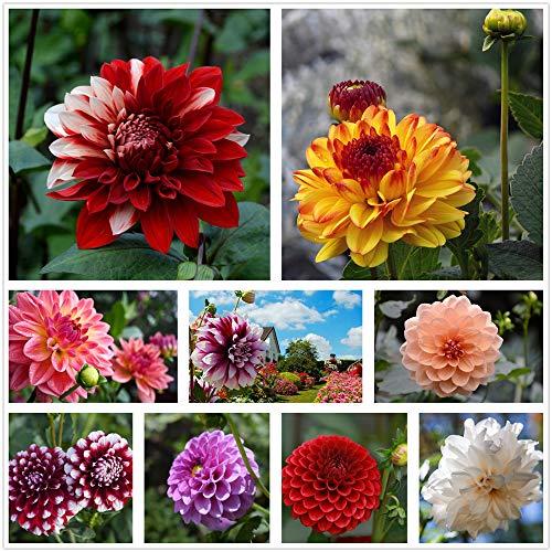 Petali composti di semi di dalia multicolore misti confezionati singolarmente (900+) piante in vaso da giardino all'aperto (non OGM) (6g)