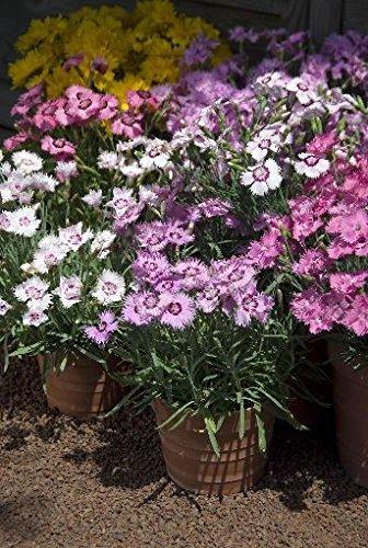 Kings Seeds Bild Paket Dianthus plumarius, s e Mischung, 50 Samen