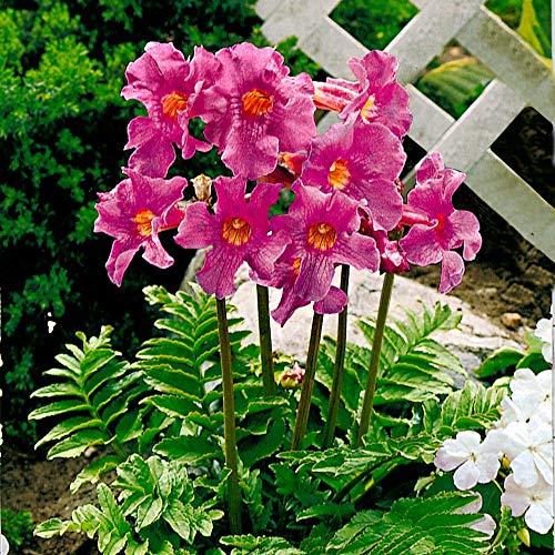 6x Incarvillea delavayi | Gloxinia resistente Fiori rosa | Bulbi di fiori estivi | 14 cm