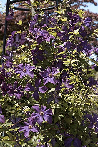 Clematis Pflanze - Polish Spirit - robuste viticella Waldrebe mit großen Blüten