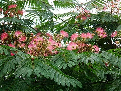 Seidenbaum Albizia julibrissin Ernest Wilson Pflanze 35-40cm Schlafbaum Rarität