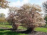Kupfer-Felsenbirne - Weiße Blüte - Amelanchier lamarckii Containerware 60-100 cm - Garten von Ehren®