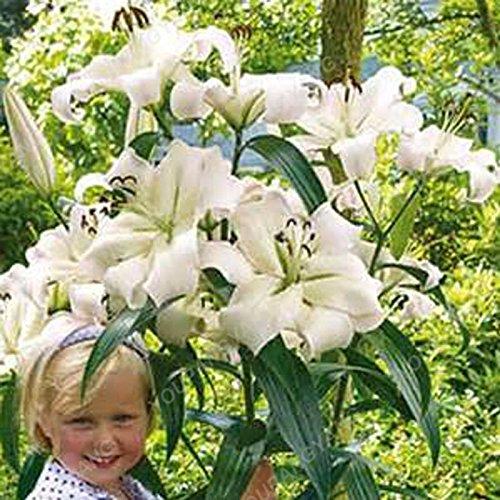Promotion! 200pcs parfum Lily Graines de fleurs Germination 95% Creepers Bonsai Bricolage Fournitures Jardin Pots Planters Livraison gratuite Bourgogne