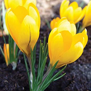 Best yellow bulb plant Reviews