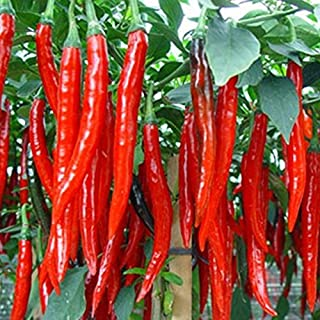 300Pcs/Bag Long Hot Pepper Seeds - Red Chilli Peppers Plants Fruit And Vegetable Seeds For Home Garden