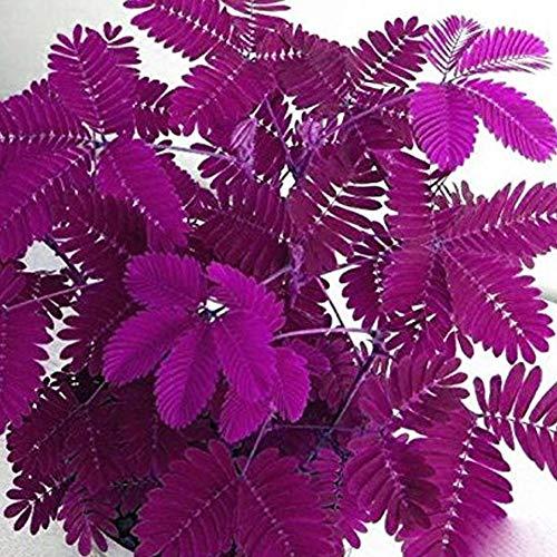 Seltene Verschiedene Farben Mimosa Pudica Samen 50Pcs, Mimosen Pflanze Saatgut Sinnpflanze Blumenamen Mimose Spannende Pflanze Winterhart Mehrjährig für Gartendekoration Balkonen Topfpflanzen