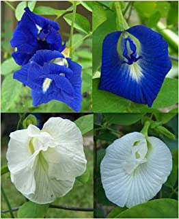 Butterfly Pea Vine Seeds: Single and Double Blue and White Mix, Clitoria ternatea, Bunga telang, Edible/Tea and Decorative, Butterfly Garden/Host Plant (15+ Seeds) from USA.