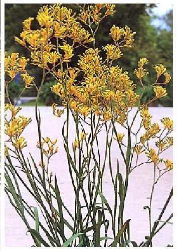 TROPICA - Patte de Kangourou - jaune - (Anigozanthos flavidus) - 100 graines- Australie