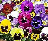 100 graines de pensée des jardins à grandes fleurs suisses coloris mix fleurs comestible envoi rapide sous 48h