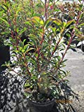 Enkianthus campanulatus Ruby Glow - Rotblühende Prachtglocke