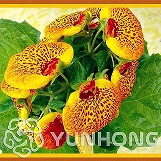 WANCHEN 50pcs Calceolaria Uniflora Bonsai Aliens Flower Plant Garden DIY Bonsai Funny Orchid Plant Flowers Easy to Grow (Seeds not Plants)