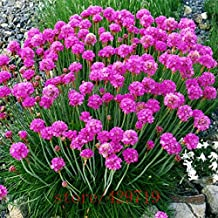 Best Selling! 100pcs purple Armeria Maritima seeds - sea thrift ,Seagrass seeds,bonsai flower seeds,potted for home garden
