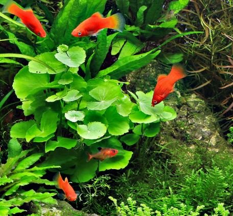 Mainam - Brazilian Pennywort Bundle Live Aquarium Plants 3 Days Live Guaranteed for Freshwater Pond Fish Tank