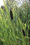 fertig im Pflanzkorb - Typha latifolia - winterhart - breitblättriger Rohrkolben - Wasserpflanzen Wolff