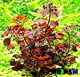 Mainam Ludwigia Repens Super Red Freshwater Plants Bundle Tropical Aquatic Plant Decorations