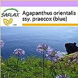 SAFLAX - Agapanthe - 50 graines - Agapanthus orientalis ssy. praecox (blue)