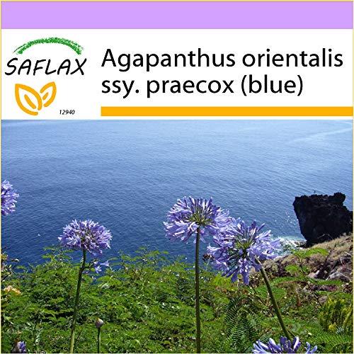 SAFLAX - Schmucklilie/Liebesbaum - 50 Samen - Agapanthus orientalis