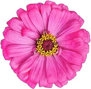 Zinnia Elegans California Giant's Flower Mix 125 Seeds - Zinnia's Flower Garden, Heat Tolerant Flowering Plant, Elegant Zinnia California Wildflower Seeds for Planting