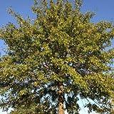"""Semillas y granjas (Quercus palustris)""""La semilla de roble"""" 25 semillas"""