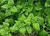 New Zealand Spinach (Warrigal Greens) Heirloom Garden Greens Vegetable 100 Seeds