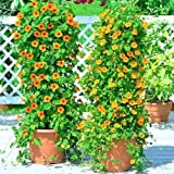 Black Eyed Susan Vine Flower Seeds Easy to Grow 8Ft Climber Garden/Container jocad (80+ Seeds)