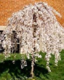 1 Live Potted Dwarf Weeping Cherry Tree Fresh Plant