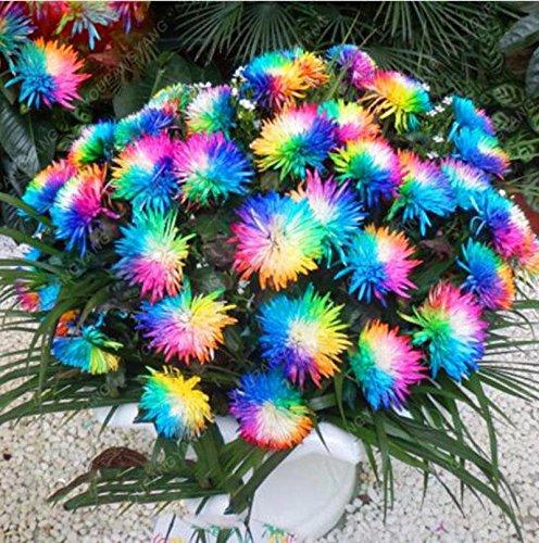 100 graines PC chrysanthèmes colorés graines de fleurs colorées belle plante en pot pour Red Livraison gratuite home garden