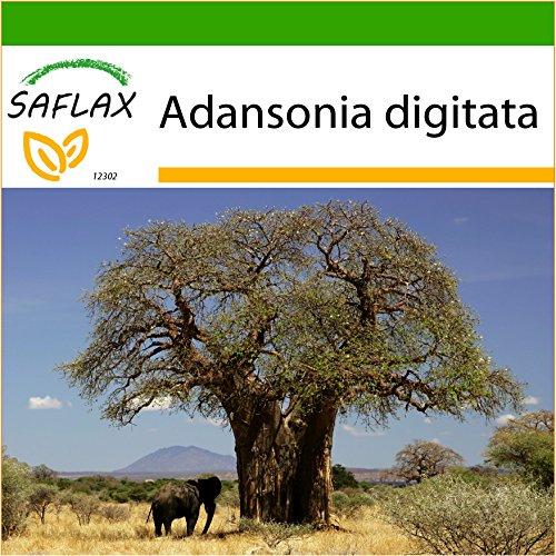 SAFLAX - Afrikanischer Affenbrotbaum - 6 Samen - Mit keimfreiem Anzuchtsubstrat - Adansonia digitata