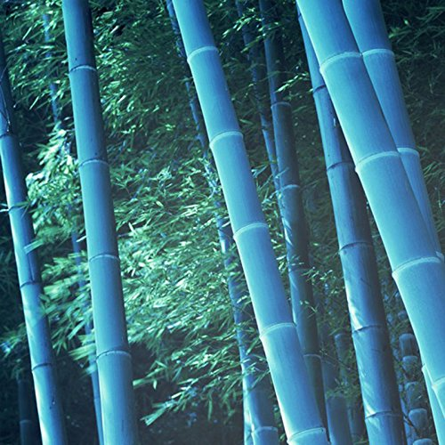 60 graines / sac rares bleu Graines Moso bambou MOSO BAMBOO Arbre Graines